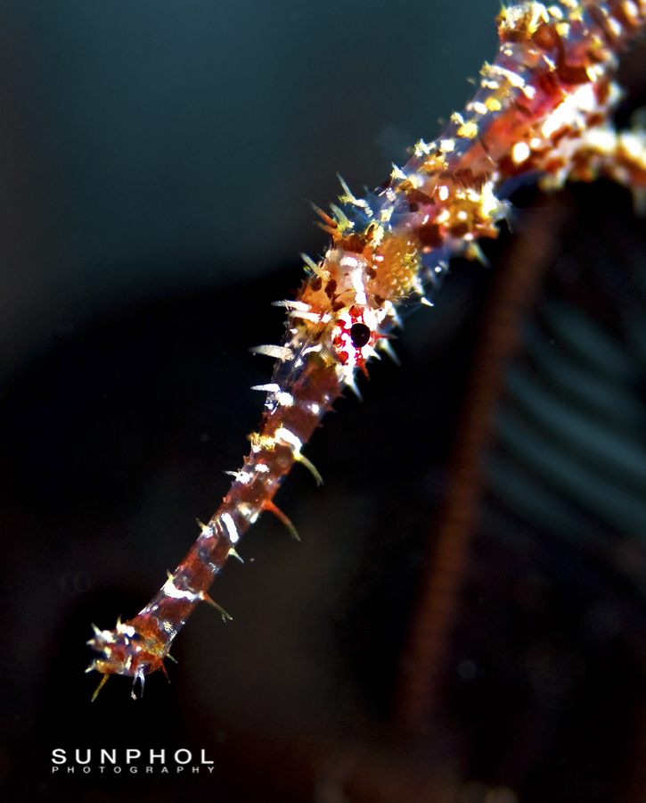 Ornate Ghostpipefish (Solenostomus paradoxus)