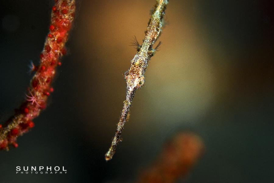 A Juvenile Robust Ghostpipefish (Solenostomus cyanopterus)