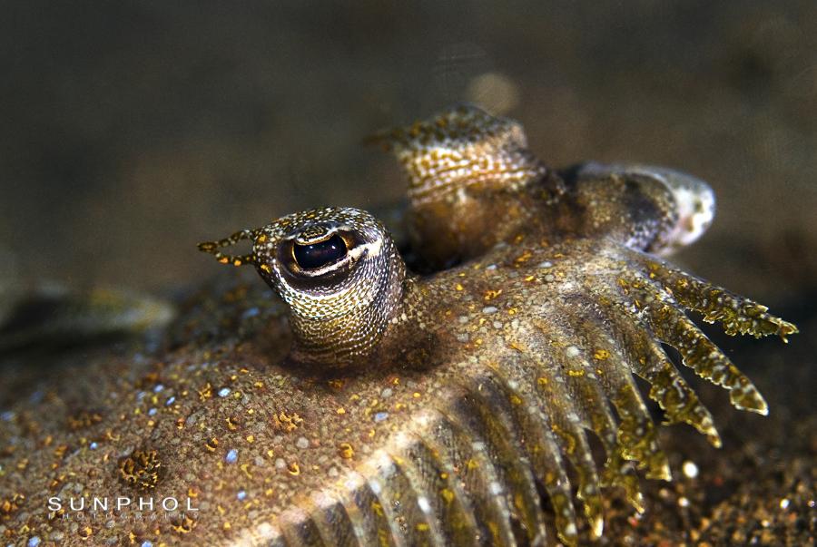 Male Peacock Flounder (Bothus mancus)