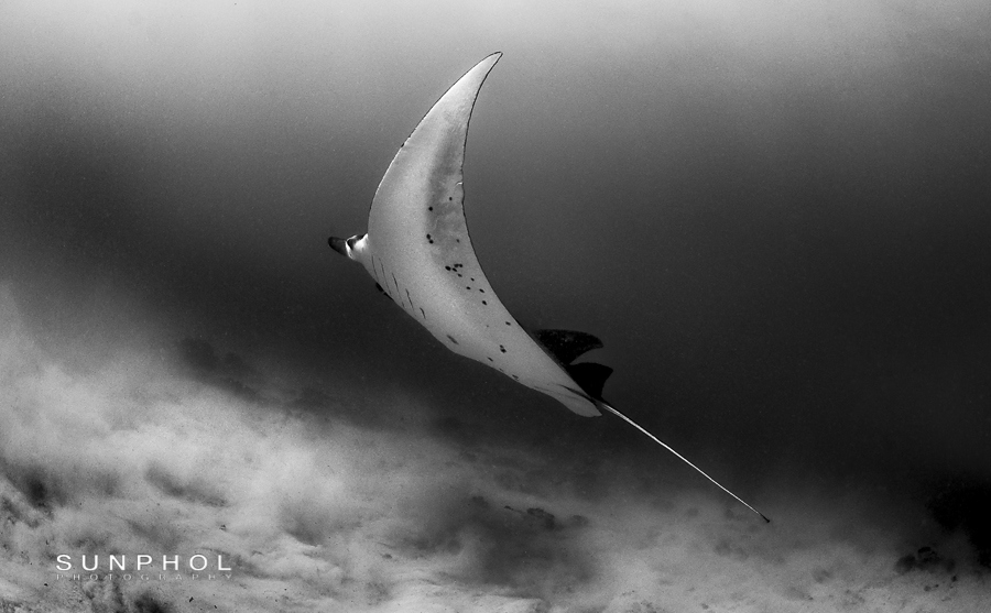 Mantaray (Manta birostris) banking away before disappear into the gloom.