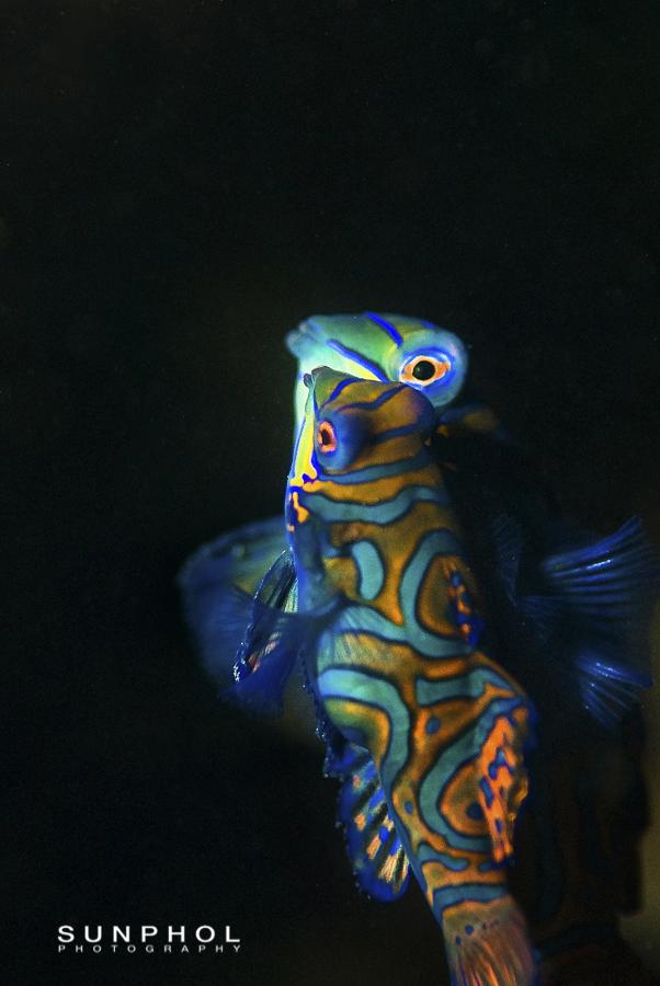 Mandarin fish mating, Synchiropus splendidus,