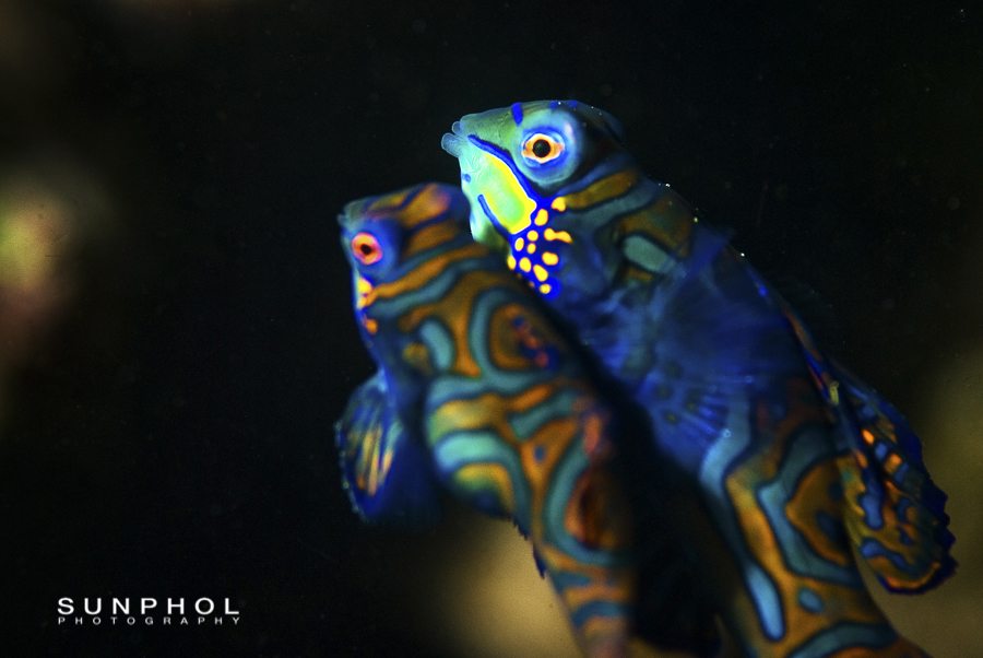 Mandarin fish, Synchiropus splendidus,