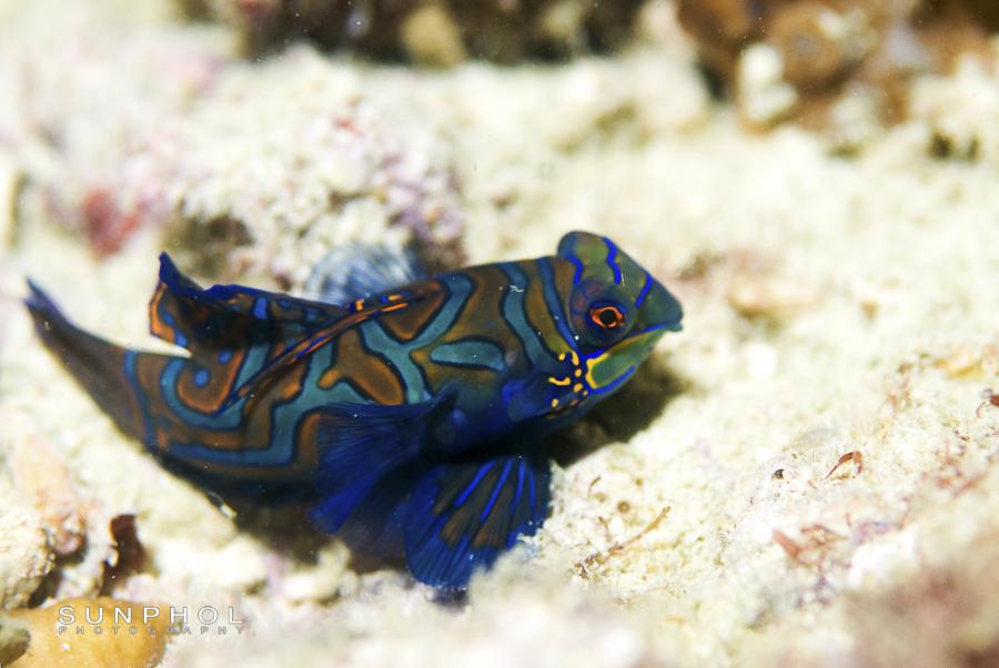 Mandarin fish, Synchiropus splendidus,