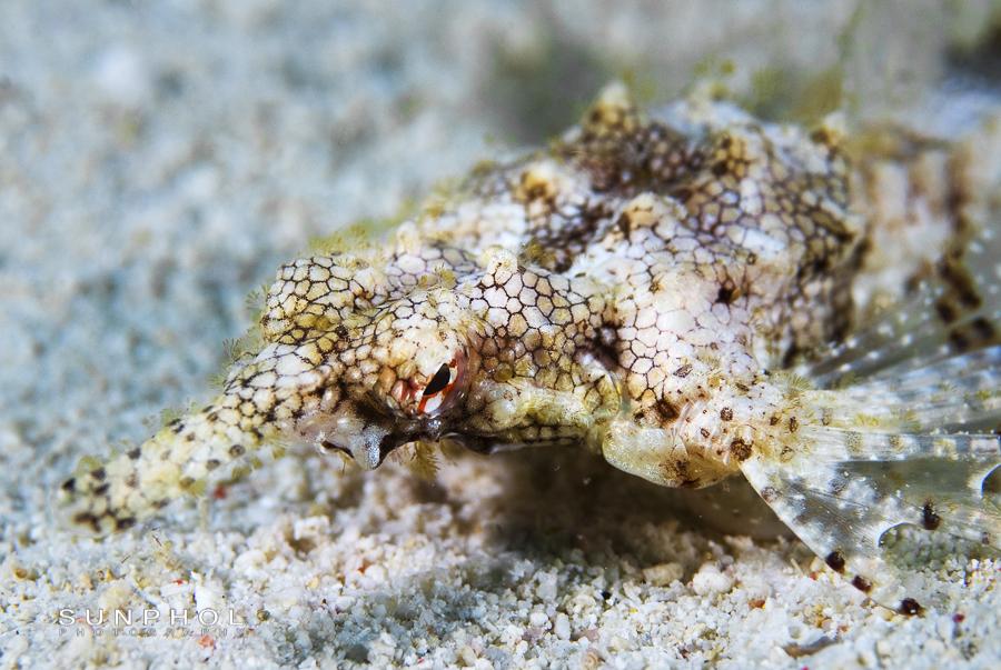 Sea Moth, Eurypegasus draconis,