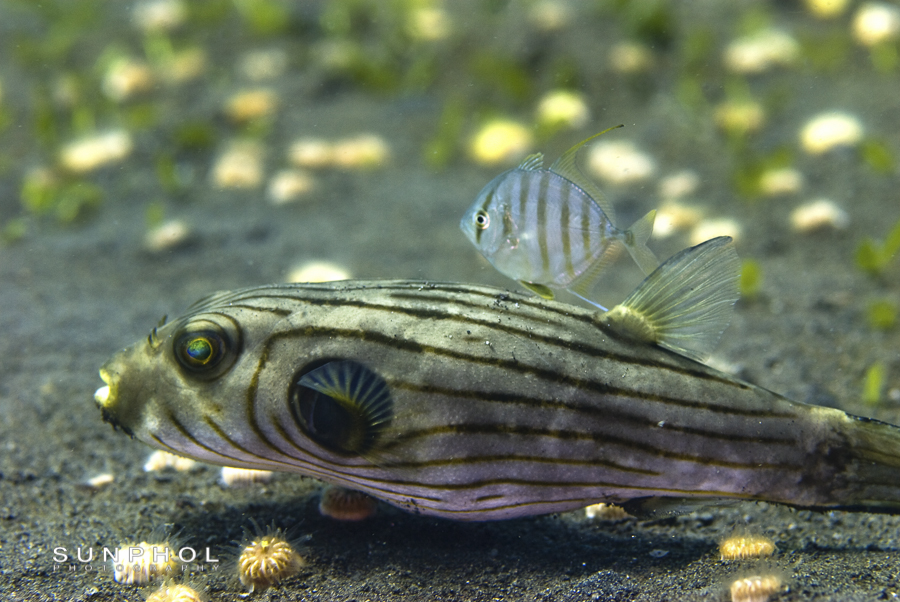 Striped puffer (Arothron manilensis)