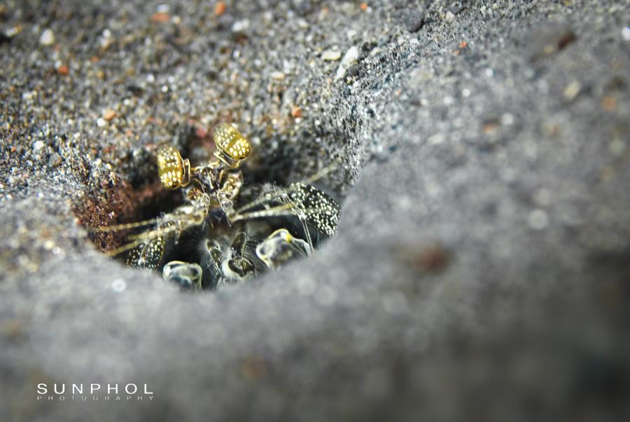 Spearing Mantis Shrimp (Lysiosquilla tredecimdentata)