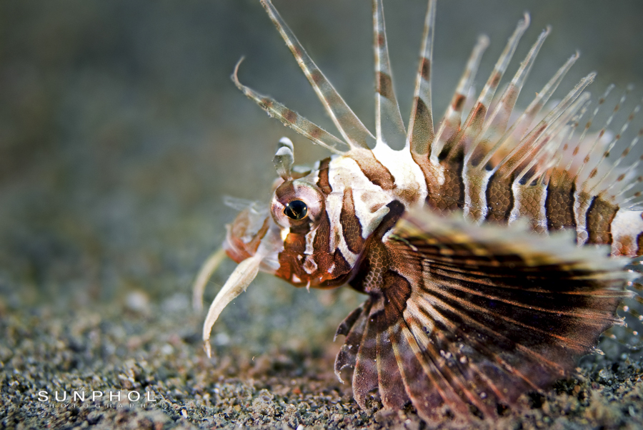 Juvenile Gurnard Lionfish (Parapterois heterura)