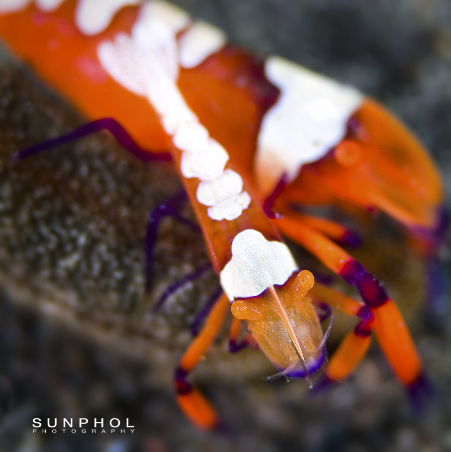 Imperial Partner Shrimp (Periclimenes Imperator)