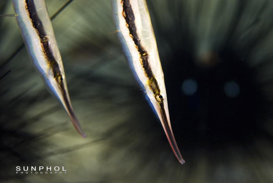 Shrimpfish (Aeoliscus strigatus)