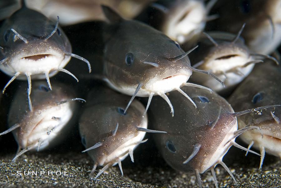Striped Catfish (Plotosus lineatus)