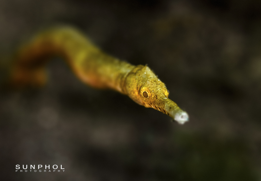 Double ended Pipefish (Trachyrhamphus bicoarctatus)