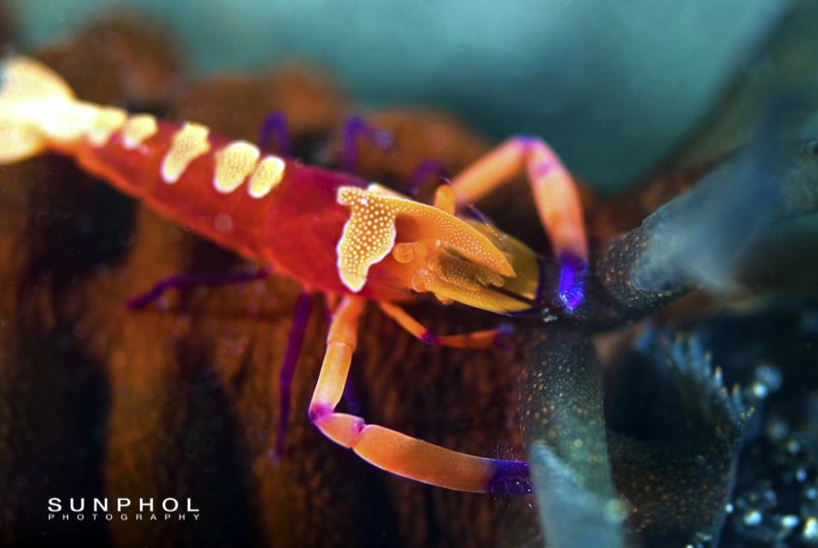 Imperial Partner Shrimp (Periclemenes Imperator)