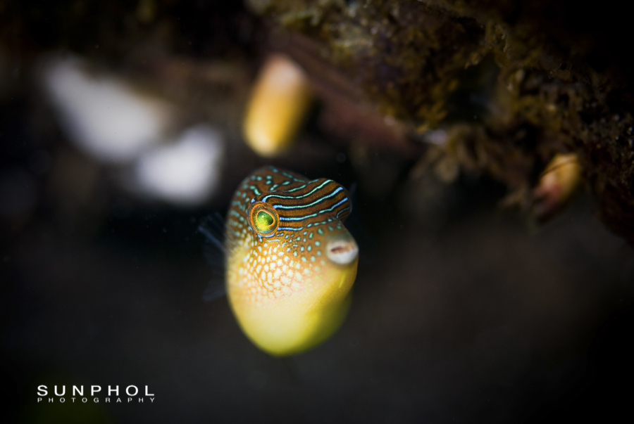 Spotted Toby (Canthigaster solandri)
