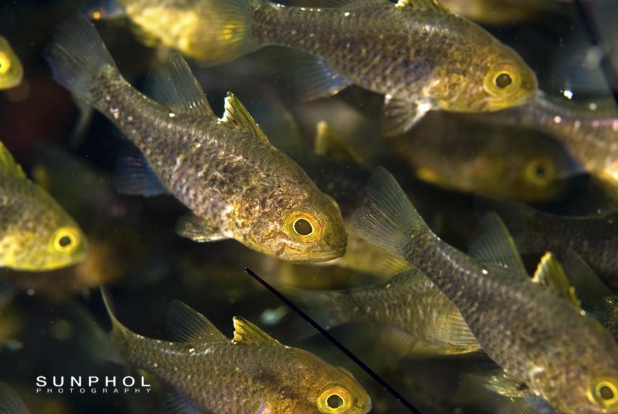 Frostfin cardinalfish (Apogon hoevenii)