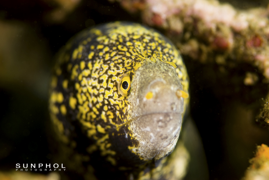 Yellow Edged Moray (Gymnothorax)flavimarginatus